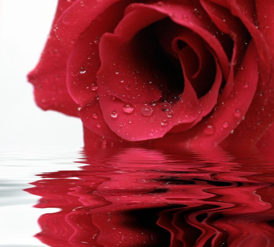 Have A Lovely Rose Morning Free Diva